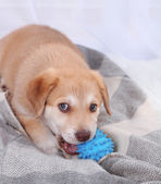 Cute beige puppy playing on white carpet — Stock fotografie