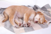 Little puppy sleeps on color plaid — Stock Photo