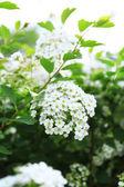 Beautiful spirea flowers — Stock Photo