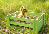 Little cute ducklings on green grass in wooden box outdoors — Stock Photo