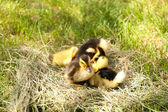 Little cute ducklings on hay, outdoors — Stock Photo