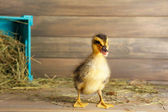 Little cute duckling in barn — Stock Photo