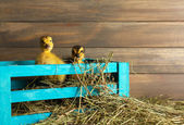 Little cute duckling in barn — Stock fotografie