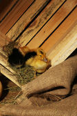 Little cute ducklings in barn — Stock Photo