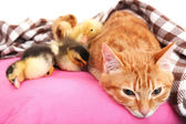 Red cat with cute ducklings — Stock Photo
