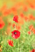 Prato con fiori di papavero — Foto Stock
