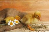 Little cute ducklings — Foto Stock