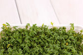 Fresh garden cress in  box — Stock Photo