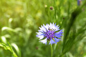 Beautiful cornflower — Stock Photo