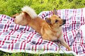 Dog lying on plaid — Stock Photo