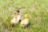 Little cute ducklings — Stock Photo