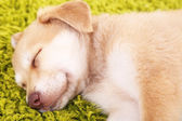 Golden Retriever puppy — Stock Photo