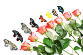 Beautiful butterflies and red roses, isolated on white  — Stock Photo