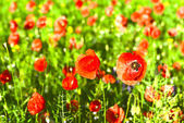 Poppy flowers outdoors — Stock Photo