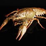 Alive crayfish isolated on black — Stock Photo #49255493