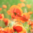 Meadow with beautiful bright red poppy flowers in spring — Stock Photo #49348497