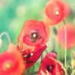 Meadow with beautiful bright red poppy flowers in spring — Stock Photo #49348499