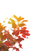 Plant with red leaves, outdoors — Stock Photo