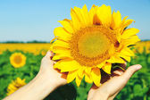 Female hand holding sun flower in field — Stock Photo