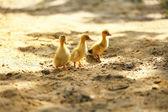Weinig schattige eendjes op zand, buitenshuis — Stockfoto