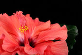 Red Hibiscus flower, close-up, isolated on black — Stock Photo