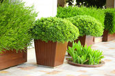 Garden pots with lush bushes — Stock Photo