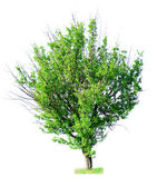 Single green tree isolated on white — Stock Photo