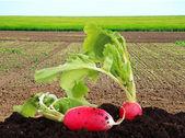 Garden radish in bed on green field background — Stock Photo
