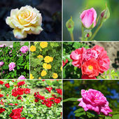 Collage of beautiful roses in garden — 图库照片