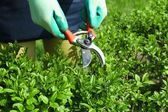 Woman Pruning bushes — Stock Photo
