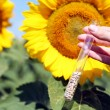 Hand holding tube with seeds in sunflower field — Stock Photo #49530357