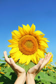 Hand holding sun flower — Stock Photo