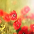 Meadow with beautiful bright red poppy flowers in spring — Stock Photo #49554855