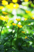 Beautiful spring yellow flowers, outdoors  — Stock Photo