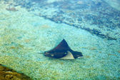 Underwater World. Stingray fish swims stealthily near bottom — Stock Photo