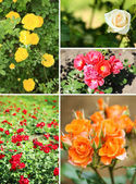 Collage of beautiful roses in garden — Stock Photo