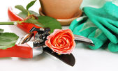 Garden secateurs and rose — Stock Photo