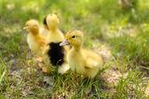 Niewiele cute kaczki — Zdjęcie stockowe