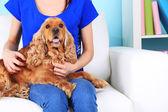 English cocker spaniel on sofa with owner — Stock Photo