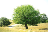 Single big old tree outdoors — Stock Photo