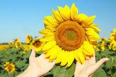 Female hand holding sun flower — Stock Photo