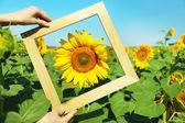 Beautiful sunflower with frame — Stock Photo