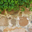 Green leaves bushes on wall — Stock Photo #49998325