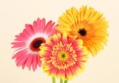 Beautiful Gerber flower — Stock Photo