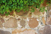 Green leaves bushes on wall — Stock Photo