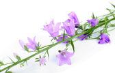 Beautiful blue bell flowers — Stock Photo