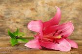 Vackra lily flower — Stockfoto