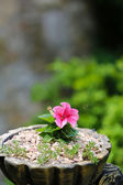 Pink petunia flower — Stock Photo