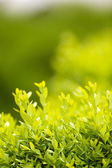 Summer Bush in garden — Stockfoto