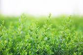 Beautiful green bush — Stock Photo